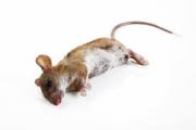 Dream about dead mice Dream about killing mice