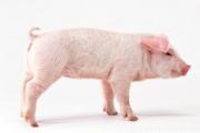 Sleeping dream of pig sleep, dreamed of a pig is what mean?